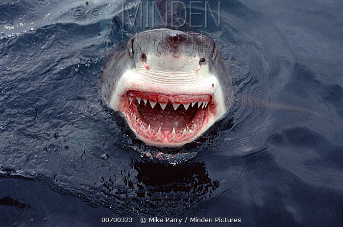 Great White Shark (Carcharodon carcharias) at surface, South Australia  -  Mike Parry