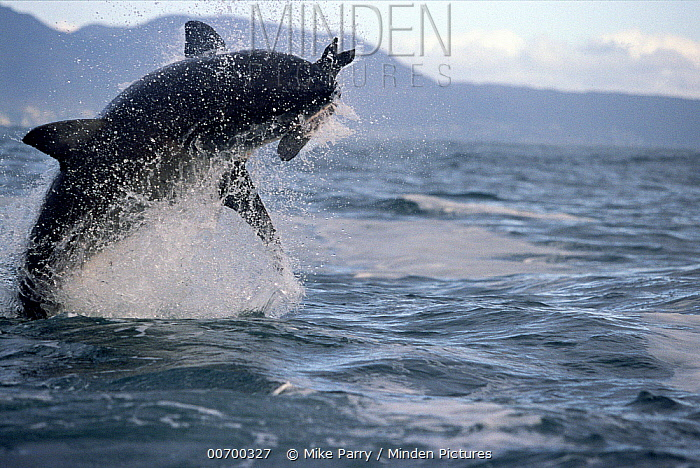 Great White Shark (Carcharodon carcharias) leaping out of water to catch prey, Cape Province, South Africa  -  Mike Parry