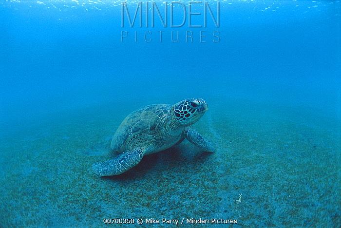 Green Sea Turtle (Chelonia mydas), Lamen Bay, Epi Island, Vanuatu  -  Mike Parry