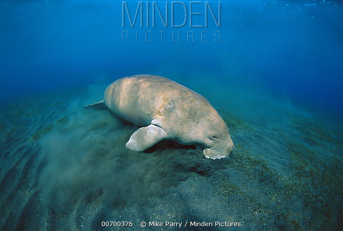 Dugong (Dugong dugon) feeding on sea grass, Lamen Bay, Epi Island, Vanuatu  -  Mike Parry