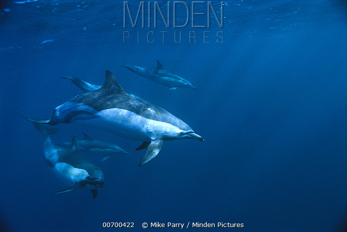Short-beaked Common Dolphin (Delphinus delphis delphis), Wild Coast, Cape Province, South Africa  -  Mike Parry