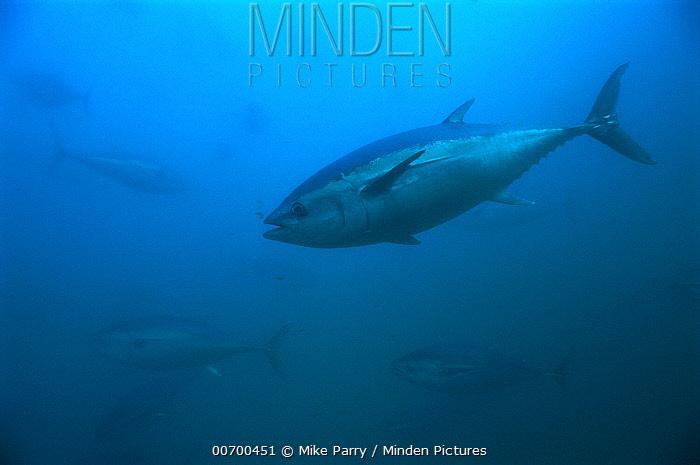 Southern Bluefin Tuna (Thunnus maccoyii) swimming, Australia  -  Mike Parry