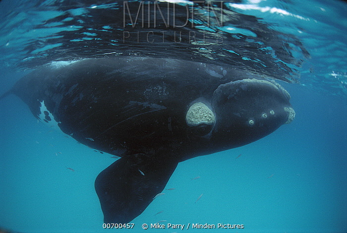 Southern Right Whale (Eubalaena australis) surfacing, Australia  -  Mike Parry