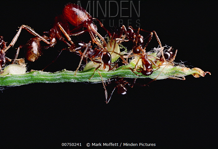 Marauder Ant (Pheidologeton diversus) group of major and minor workers collecting seeds from harvest grass, major worker pulls seeds out and hands them to minor workers  -  Mark Moffett
