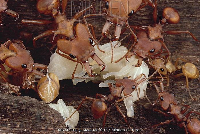 Daceton major and minor workers moving pupae, Venezuela  -  Mark Moffett