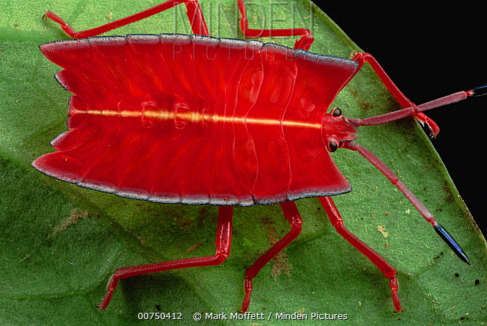 Red Stink Bug (Pycanum rubeus), Brunei, Borneo  -  Mark Moffett
