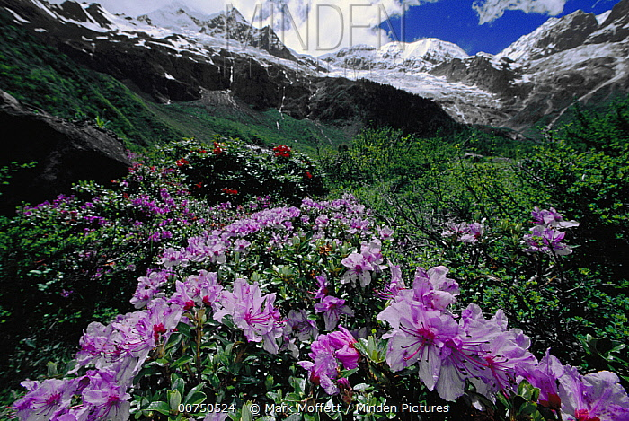 Rhodendendrons blooming in the Meili Mountains, sacred to Tibetans, northwest Yunnan Province, China  -  Mark Moffett