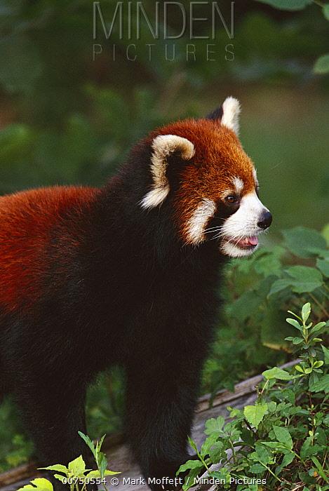 Lesser Panda (Ailurus fulgens) portrait, Chengdu Panda Research Institute, China  -  Mark Moffett