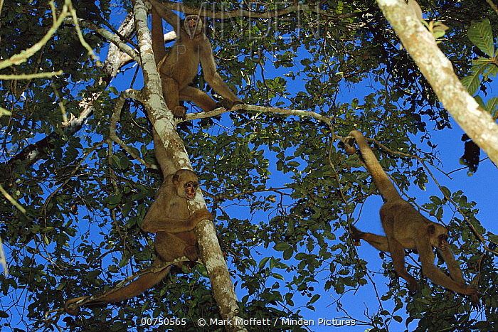 Northern Muriqui (Brachyteles hypoxanthus) group in a tree near the Caatinga Biological Station where a 2, 365 acre reserve protects the estimated 300 individuals that remain, Atlantic Forest, Brazil  -  Mark Moffett