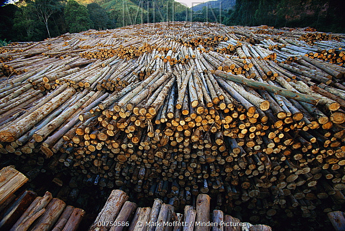 Gum Tree (Eucalyptus sp) stacked lumber cut from plantations of this non-native species which have replaced 7.5 million acres of forest in Brazil, the world's biggest source of Eucalyptus pulp for paper, Atlantic forest, Brazil  -  Mark Moffett