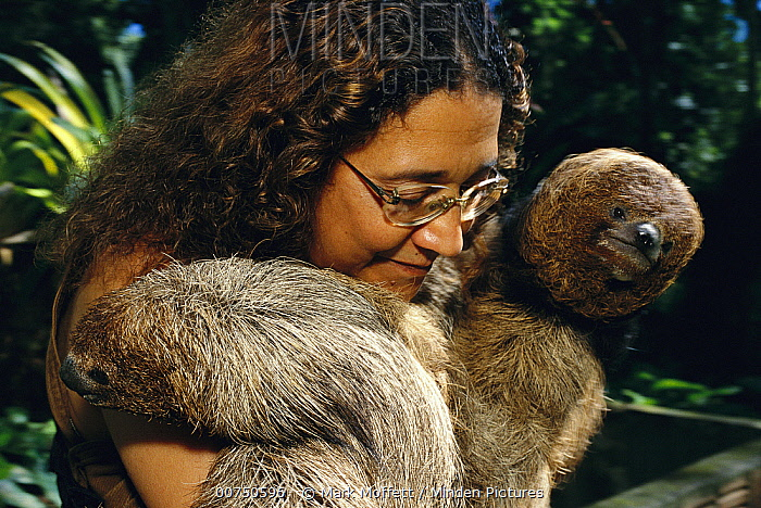 Maned Sloth (Bradypus torquatus) pair rescued from hunters, are held and soothed by Lucia de Oliveira at a rehabilitation center near Ilheus, Atlantic Forest, Brazil  -  Mark Moffett