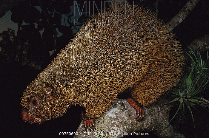 Thin-spined Porcupine (Chaetomys subspinosus) nocturnal animal once thought to be extinct, Atlantic Forest, Espirito Santo, Brazil  -  Mark Moffett