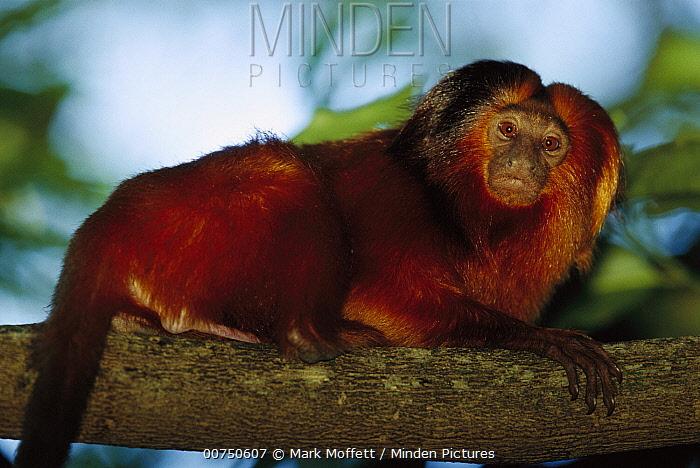 Golden Lion Tamarin (Leontopithecus rosalia) portrait in tree, Atlantic Forest, Ilheus, Bahia, Brazil  -  Mark Moffett