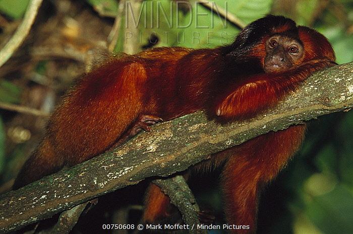 Golden Lion Tamarin (Leontopithecus rosalia) resting in tree, Atlantic Forest, Ilheus, Bahia, Brazil  -  Mark Moffett
