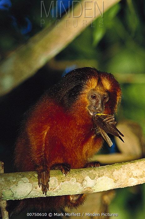 Golden Lion Tamarin (Leontopithecus rosalia) eating a grasshopper, Atlantic Forest, Ilheus, Bahia, Brazil  -  Mark Moffett