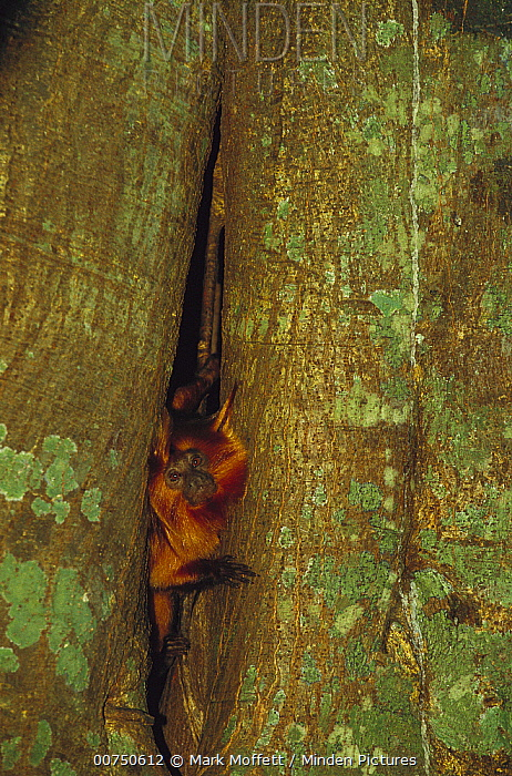 Golden-headed Lion Tamarin (Leontopithecus chrysomelas) emerging from its sleep den in the trunk of a tree, Atlantic Forest, Ilheus, Bahia, Brazil  -  Mark Moffett
