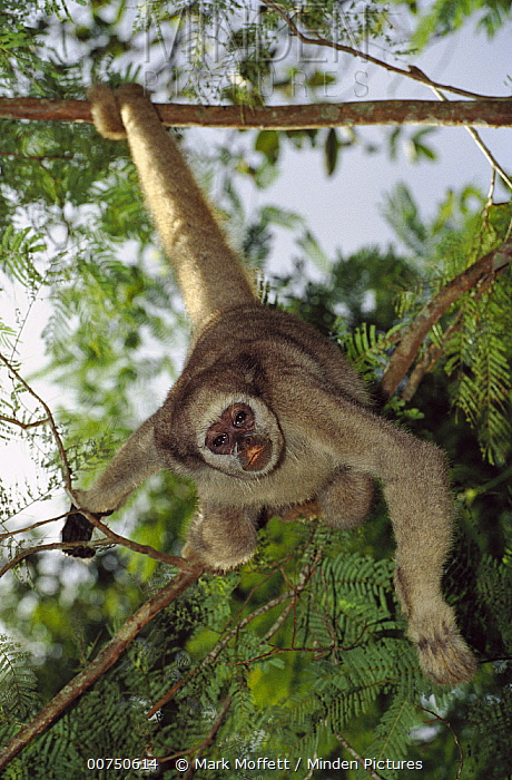 Northern Muriqui (Brachyteles hypoxanthus) peering down from a tree near the Caatinga Biological Station where a 2, 365 acre reserve protects less than 300 individuals are thought to remain, Atlantic Forest, Brazil  -  Mark Moffett