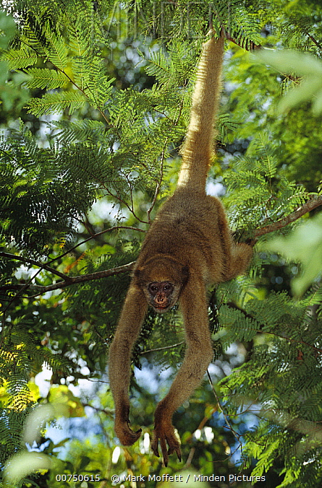 Northern Muriqui (Brachyteles hypoxanthus) in a tree near the Caatinga Biological Station where a 2, 365 acre reserve protects less than 300 individuals are thought to remain, Atlantic Forest, Brazil  -  Mark Moffett