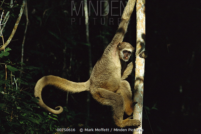 Northern Muriqui (Brachyteles hypoxanthus) climbing on a tree trunk in the Caatinga Biological Station where a 2, 365 acre reserve protects these less than 300 individuals are thought to remain, Atlantic Forest, Brazil  -  Mark Moffett
