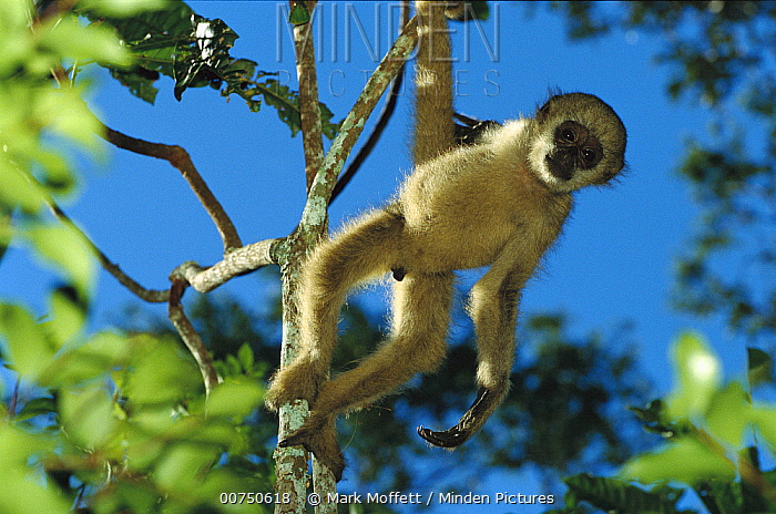 Northern Muriqui (Brachyteles hypoxanthus) baby in a tree at the Caatinga Biological Station where a 2, 365 acre reserve protects less than 300 individuals are thought to remain, Atlantic Forest, Brazil  -  Mark Moffett