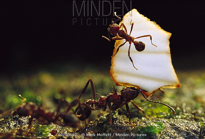 Leafcutter Ant (Atta sp) with their jaws full, ants carrying leaves must rely on others for defense against attack, a smaller ants ride on the leaf driving away attackers, Salto Morato Reserve, Atlantic Forest, Brazil  -  Mark Moffett