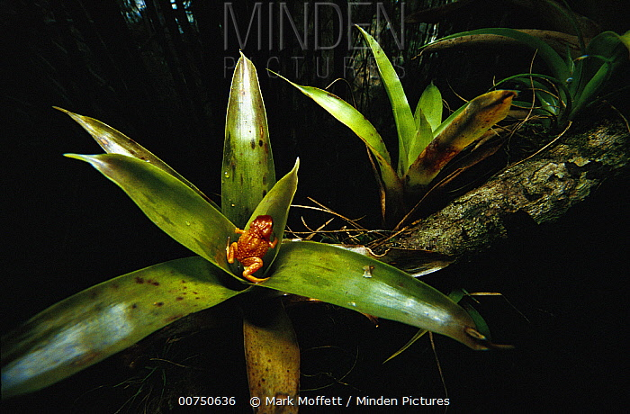 Shield Toad (Brachycephalus sp) in bromeliad, endemic to the Atlantic Forest, Brazil  -  Mark Moffett