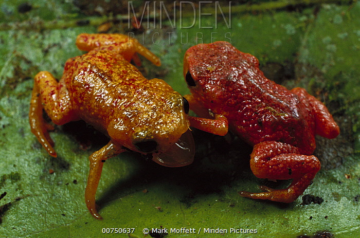 Shield Toad (Brachycephalus sp) pair fighting, endemic to the Atlantic Forest, Brazil  -  Mark Moffett