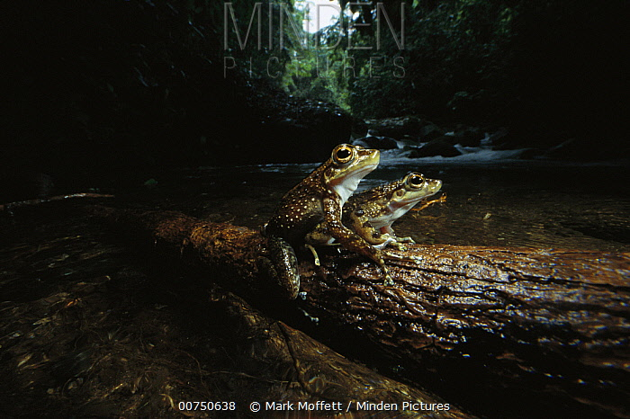 Warty Tree Toad (Hylodes asper) pair courting on a log near stream, preparing to leap into the water and lay eggs, Atlantic Forest, Brazil  -  Mark Moffett