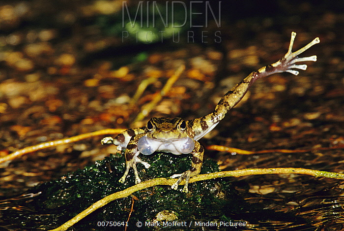 Warty Tree Toad (Hylodes asper) repeatedly kicks its leg right and left to mark its streamside territory to attract mates, Atlantic Forest, Brazil, sequence 2 of 2  -  Mark Moffett