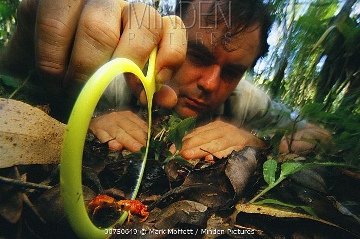Shield Toad (Brachycephalus sp) attacks his reflection in a mirror held by Brazilian biologist Celio Haddad, Atlantic Forest, Brazil  -  Mark Moffett