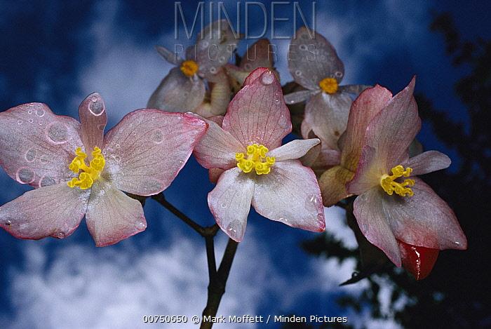 Begonia (Begonia santos-limae) wet with rain, Atlantic Forest ecosystem, Brazil  -  Mark Moffett
