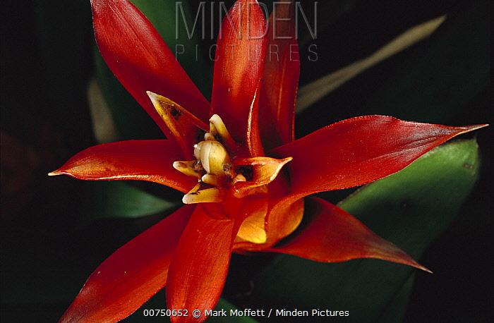 Bromeliad (Bromeliaceae) close-up detail, Atlantic Forest, Brazil  -  Mark Moffett