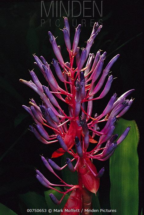 Bromeliad (Bromeliaceae) with purple flower, Atlantic Forest, Brazil  -  Mark Moffett