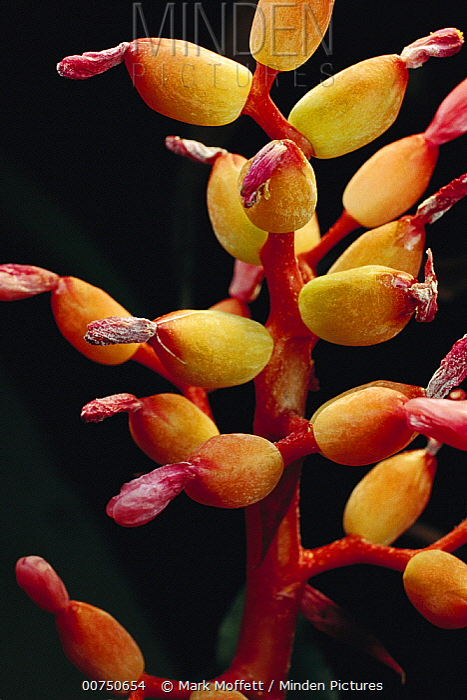 Bromeliad (Bromeliaceae) close-up detail of flower, Atlantic Forest, Brazil  -  Mark Moffett
