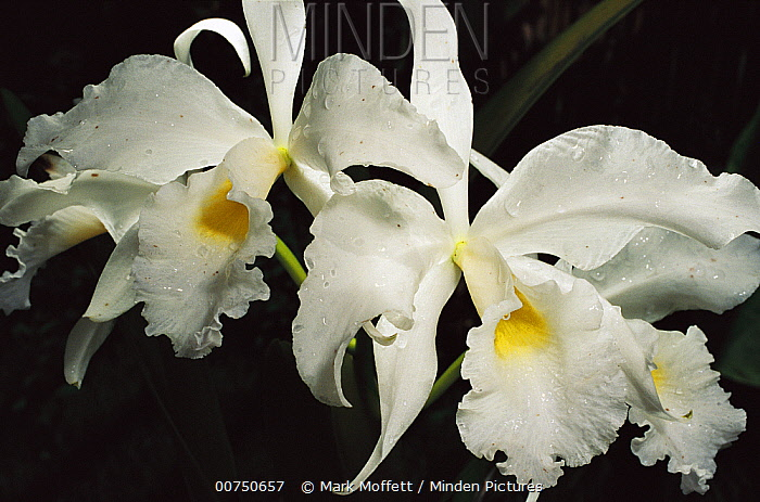 Orchid, close-up of white flowers wet with rain, Atlantic Forest, Brazil  -  Mark Moffett