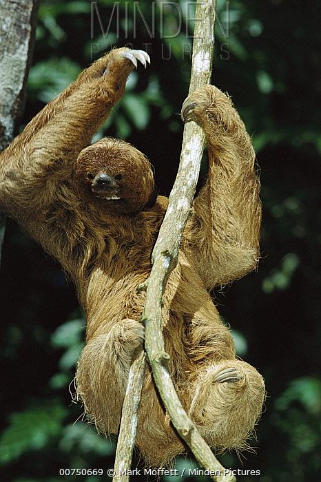 Maned Sloth (Bradypus torquatus) in a tree at a rehabilitation center near Ilheus, Atlantic Forest, Brazil  -  Mark Moffett