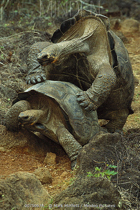Chatham Island Tortoise (Chelonoidis chathamensis) pair mating, San Cristobal Island, Galapagos Islands, Ecuador  -  Mark Moffett
