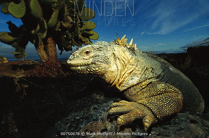 Galapagos Land Iguana (Conolophus subcristatus) close-up, on rock, Galapagos Islands, Ecuador  -  Mark Moffett