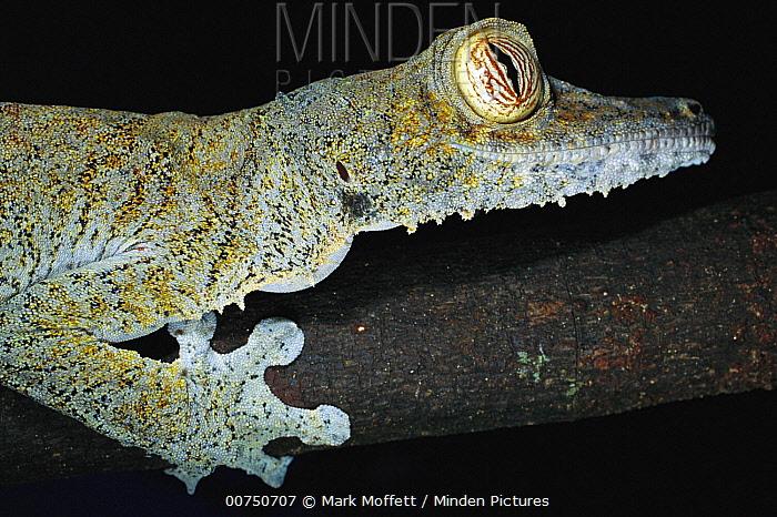 Common Flat-tail Gecko (Uroplatus fimbriatus) clinging to branch, Nosy Mangabe Reserve, Madagascar  -  Mark Moffett
