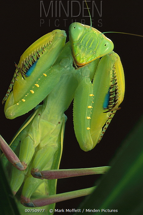 African Praying Mantis (Sphodromantis lineola) female, Africa
