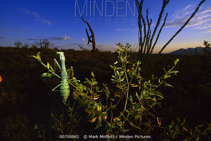Arizona Mantis (Stagmomantis limbata) on a creosote plant in Sonoran Desert near Tuscon, Arizona  -  Mark Moffett