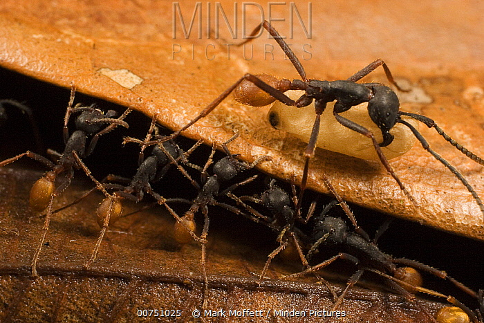 Army Ant (Eciton burchellii) workers form a step along the trail for larger worker carrying larva, Barro Colorado Island, Panama  -  Mark Moffett