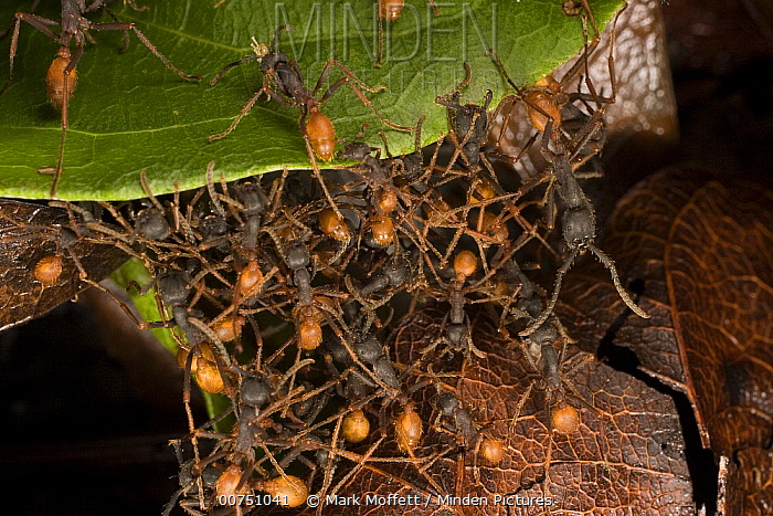 Army Ant (Eciton sp) workers form a bridge along the trail for colony members climb from one leaf to another, Barro Colorado Island, Panama  -  Mark Moffett