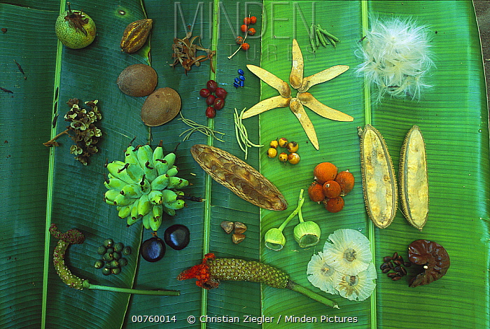 Variety of seeds and fruits from over 30 plant species, collected on Barro Colorado Island in late April, near the end of dry season, Panama  -  Christian Ziegler