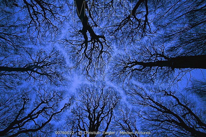 Looking up into leafless canopy in the winter showing crown shyness, blue hour, Jasmund National Park, Ruegen, Germany  -  Christian Ziegler
