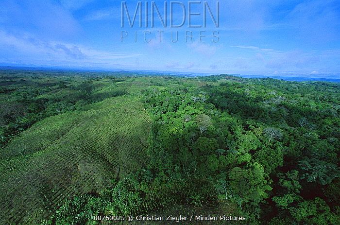 Teak (Tectona grandis) plantations amid forest, Barro Colorado Island, Panama  -  Christian Ziegler
