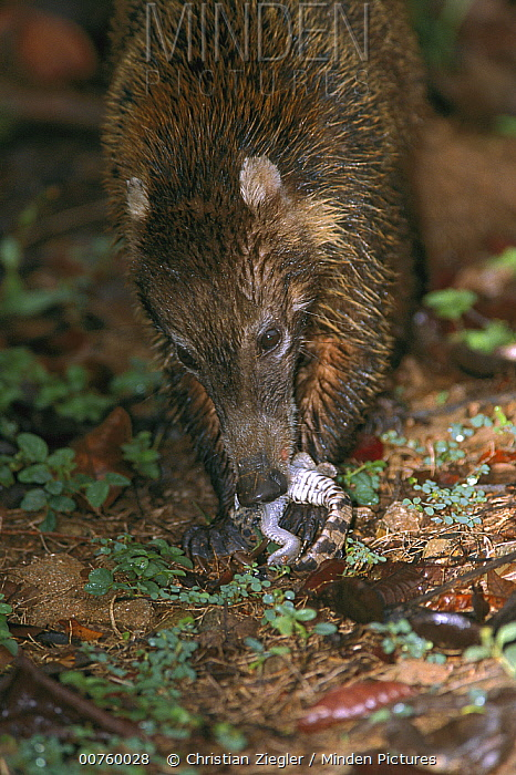 White-nosed Coati (Nasua narica) eating Crocodile hatchling, blamed for disappearance of several species of ground-nesting understory birds, Barro Colorado, Panama  -  Christian Ziegler