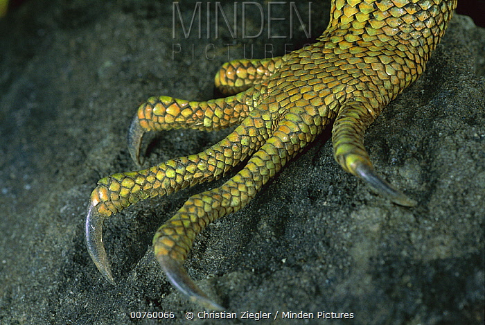 Green Iguana (Iguana iguana) detail of climbing claws, Barro Colorado Island, Panama  -  Christian Ziegler