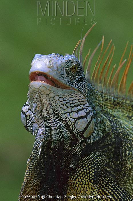 Green Iguana (Iguana iguana) head portrait of dominant male, Barro Colorado Island, Panama  -  Christian Ziegler