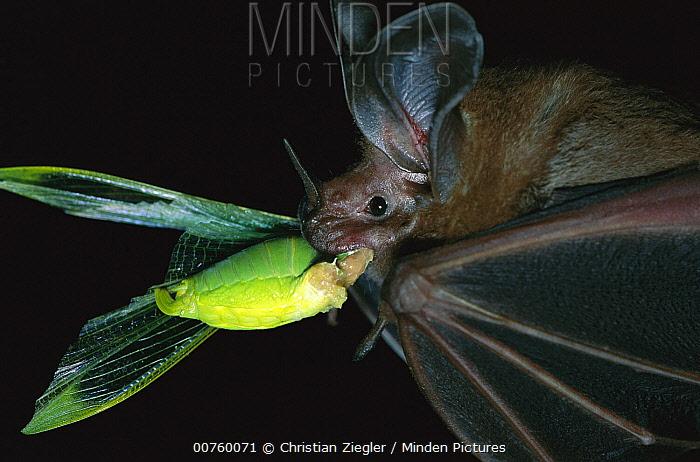 White-throated Round-eared Bat (Tonatia silvicola) eating Katydid (Tettigoniidae), Barro Colorado Island, Panama  -  Christian Ziegler